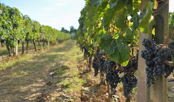 Castello di Verrazzano Vineyards