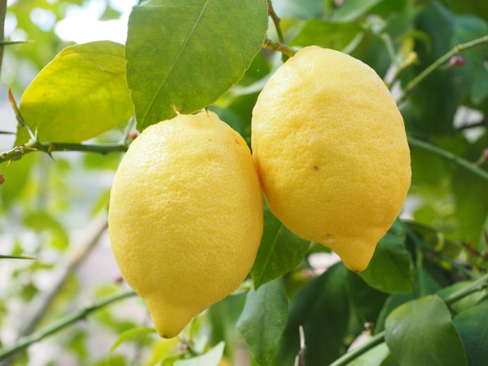 Amalfi Lemon