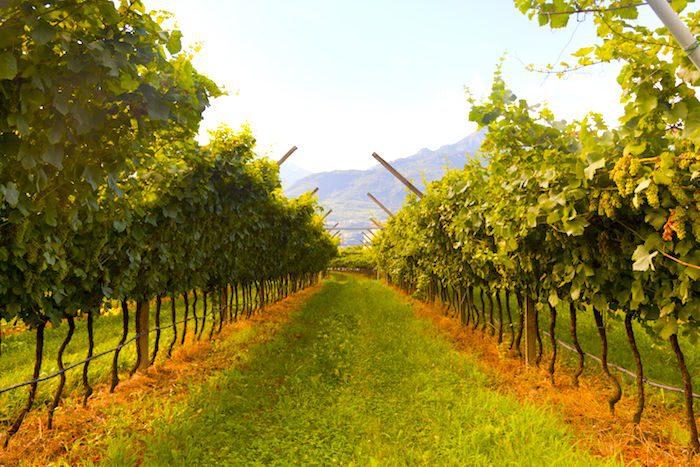 Venice Prosecco Vines