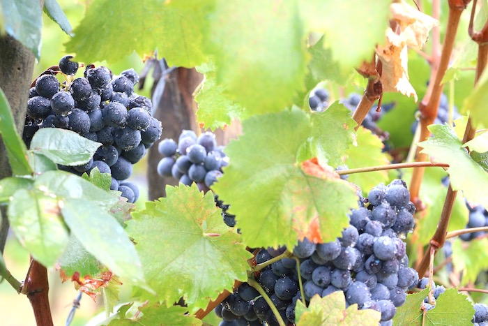 sangiovese grapes - Tuscan wine